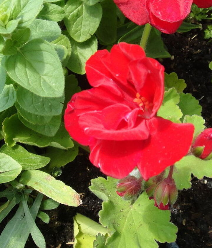 8. Geraniums repel cabbage worms and Japanese beetles.