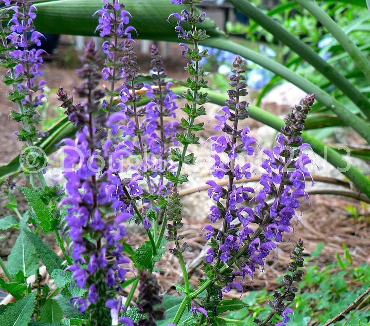 A mystery salvia sold to my local nursery as Salvia nemorosa 'May Night,' which it is not. This plant is a much lower grower.