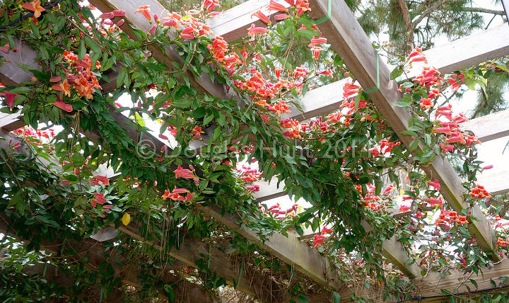 Why Crossvine Is A Great Pergola Plant Flowers Gardening Looking Up