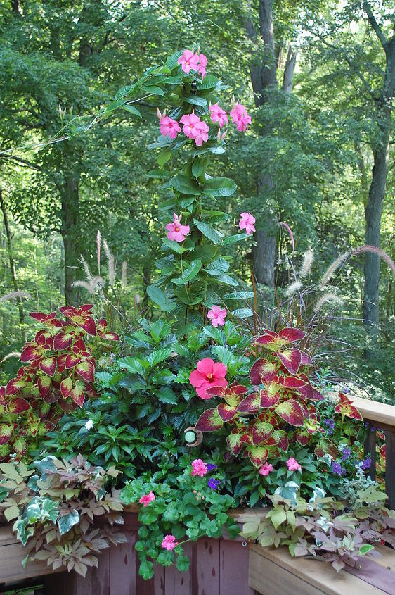 container plants that last till frost, container gardening, flowers, gardening, hibiscus