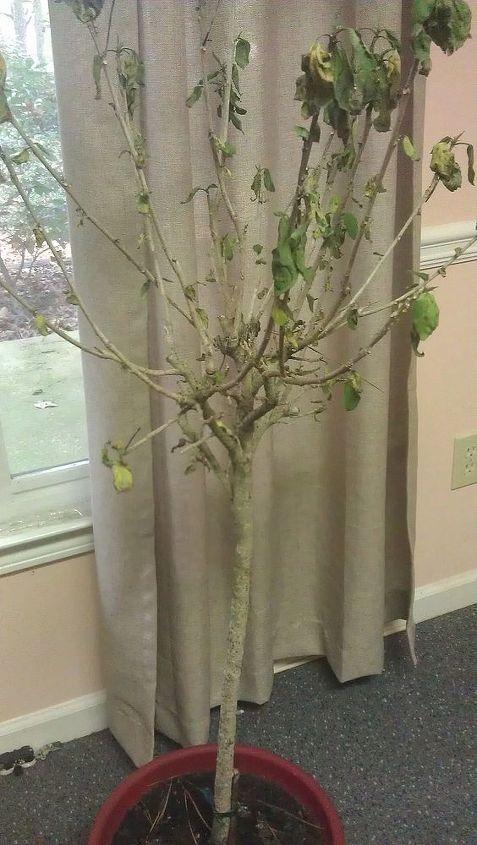 Overwintering plants - Hibiscus | Hometalk