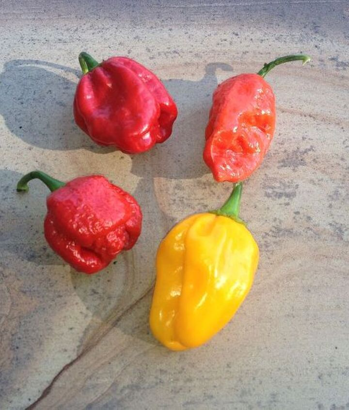 Hot peppers..is whats for dinner