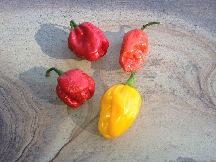 hottest peppers in the world, gardening, Hot peppers is whats for dinner