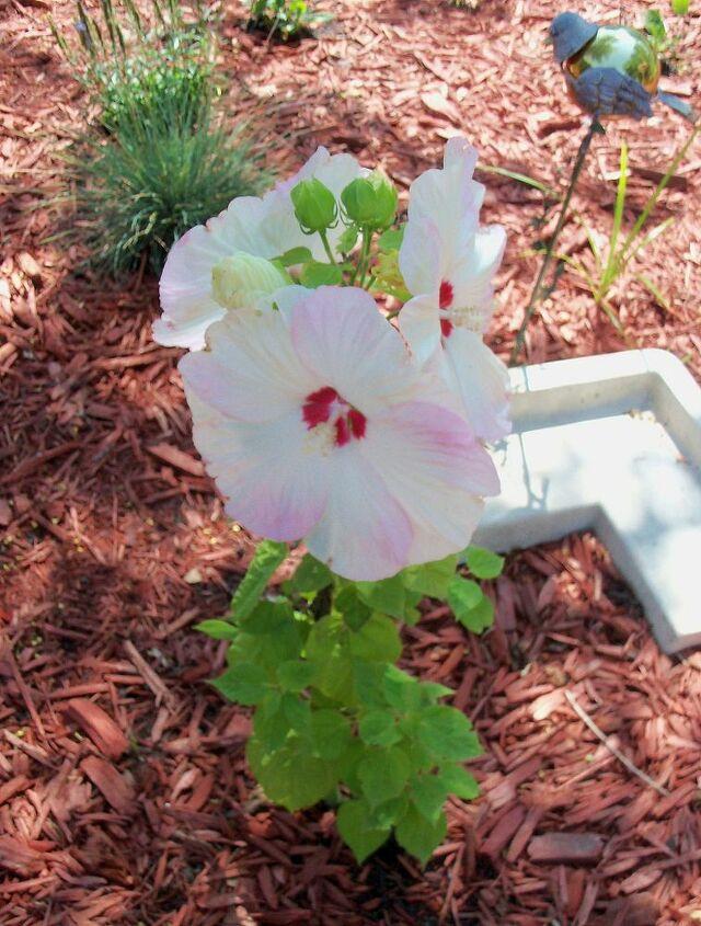 new blooms in my secret garden, flowers, gardening, hibiscus, hydrangea, succulents, Hibiscus triplets