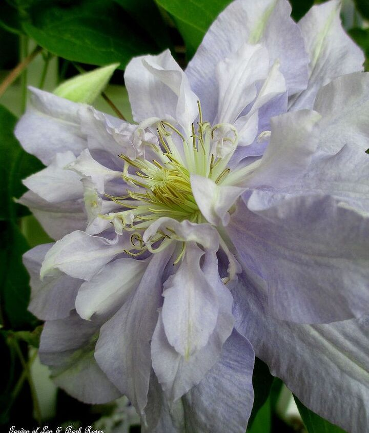 "Clematis ""Rivera"" ~ full and fluffy"