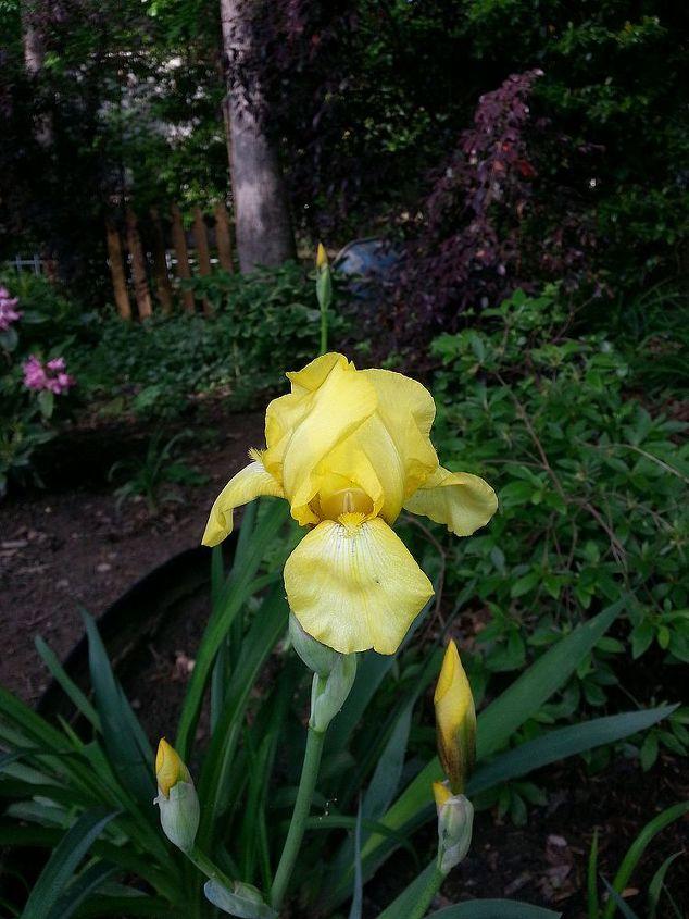 iris, flowers, gardening