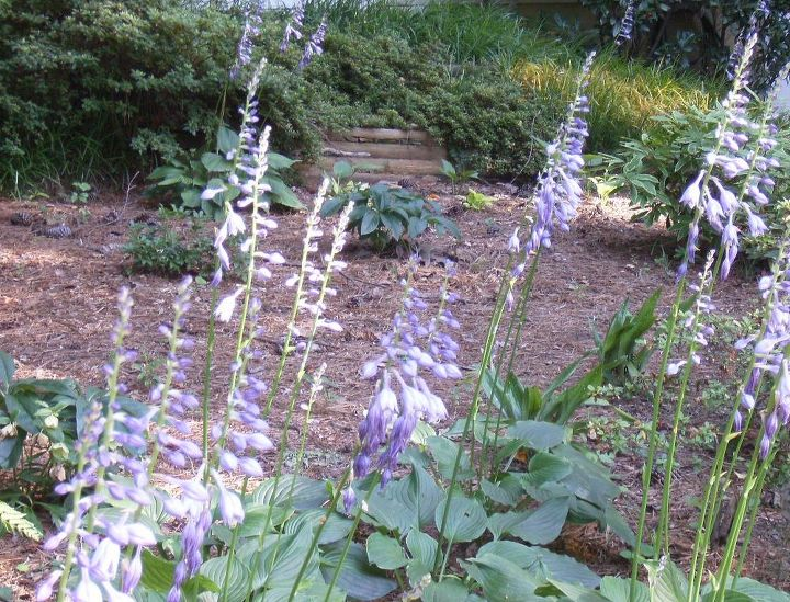 i have many hostas in my shady yard the they need some thinning, gardening