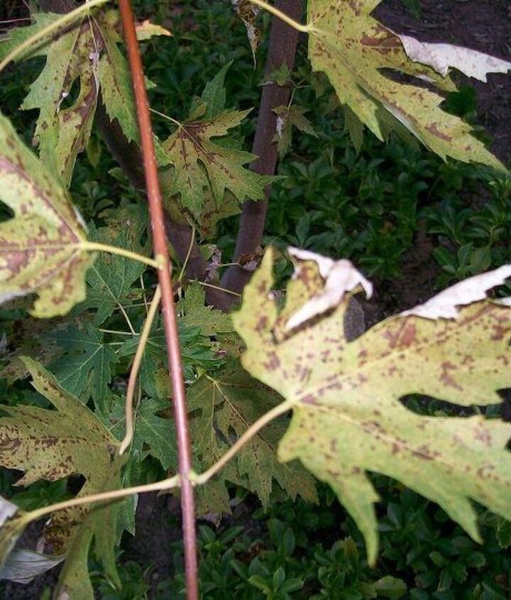 close-up of diseased leaves