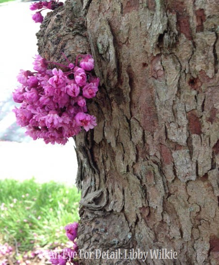 american redbud tree a classic, flowers, gardening