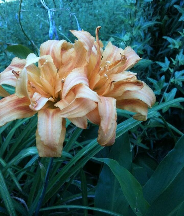 A Cross Between my red lillies and an orange Tiger Lilly