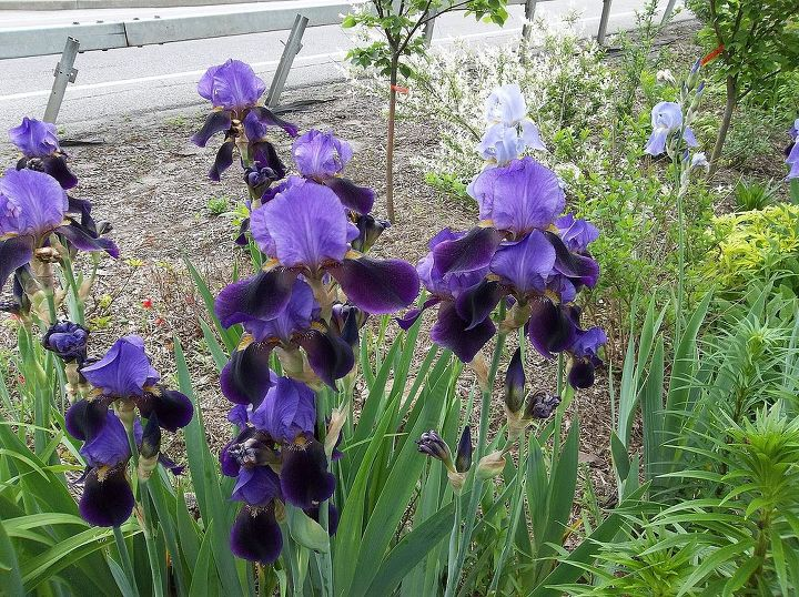 some of the first irises to bloom.