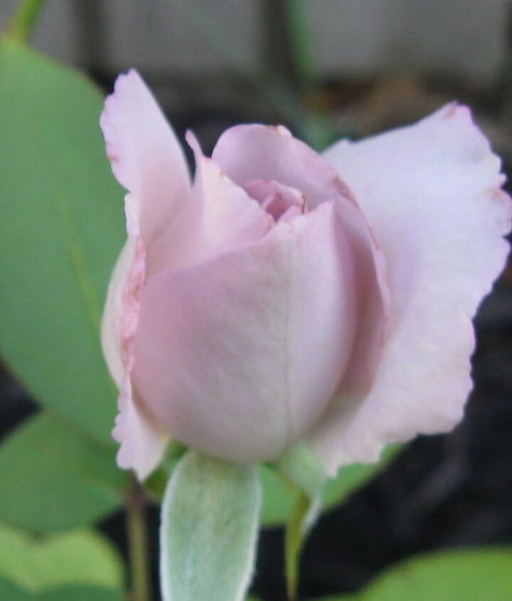 This rose was re-transplanted to the new rose garden & made it! Yes