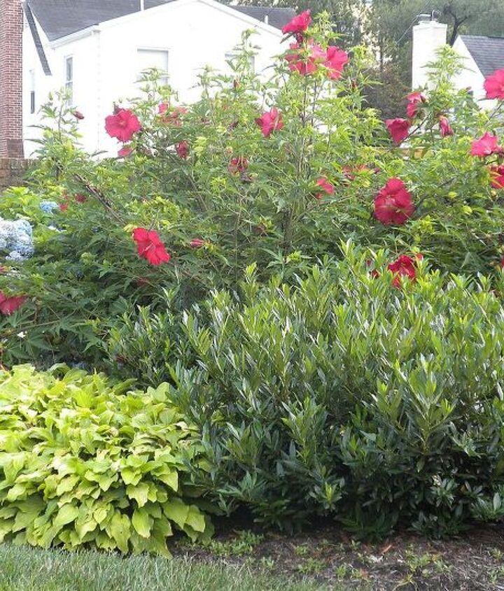 Counterclockwise, from top:  Hibiscus, Hydrangea, Hostas, Otto Luyken Laurel (back landscape) - July