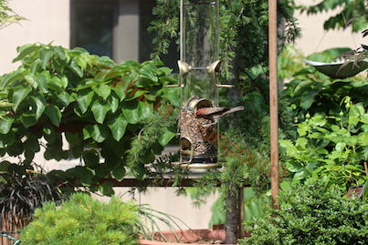 Male House Finch Has No Problem With WBUSS Feeder! View One. (Referred to as Photo-Six in post.)