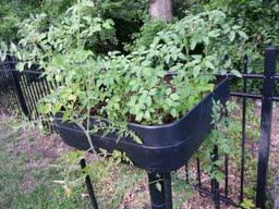 cherry tomatoes growing but no fruit, gardening