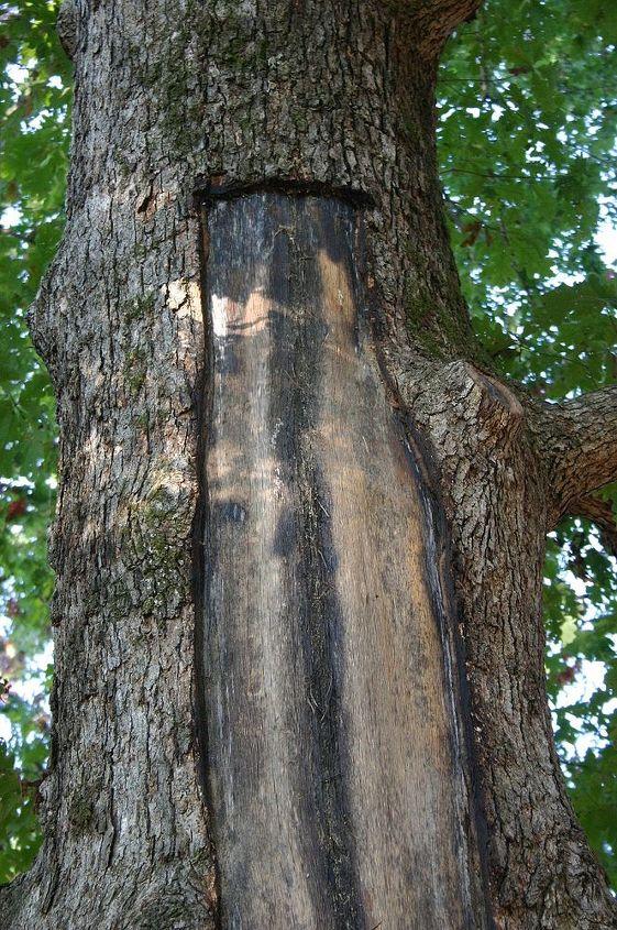 bark scored with razor knife