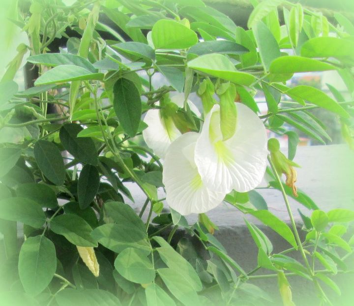 butterfly pea clitora ternatea, flowers, gardening