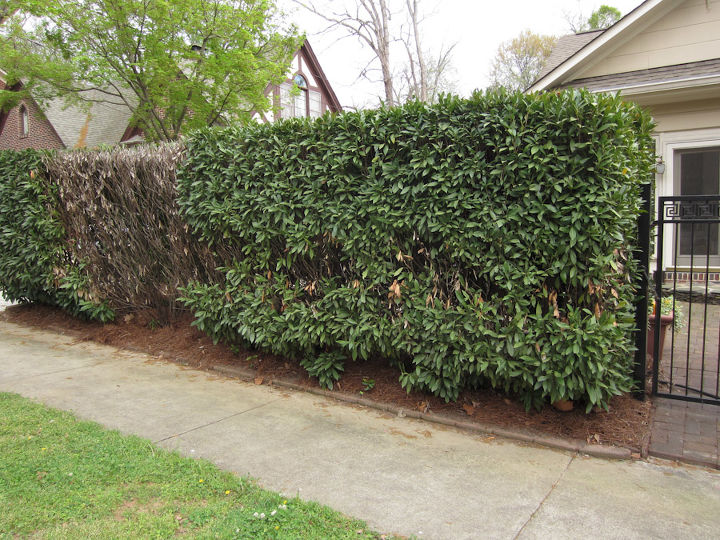 Notice the large dead spot on the far left of the hedge and what appears to continue along the hedge to the right.