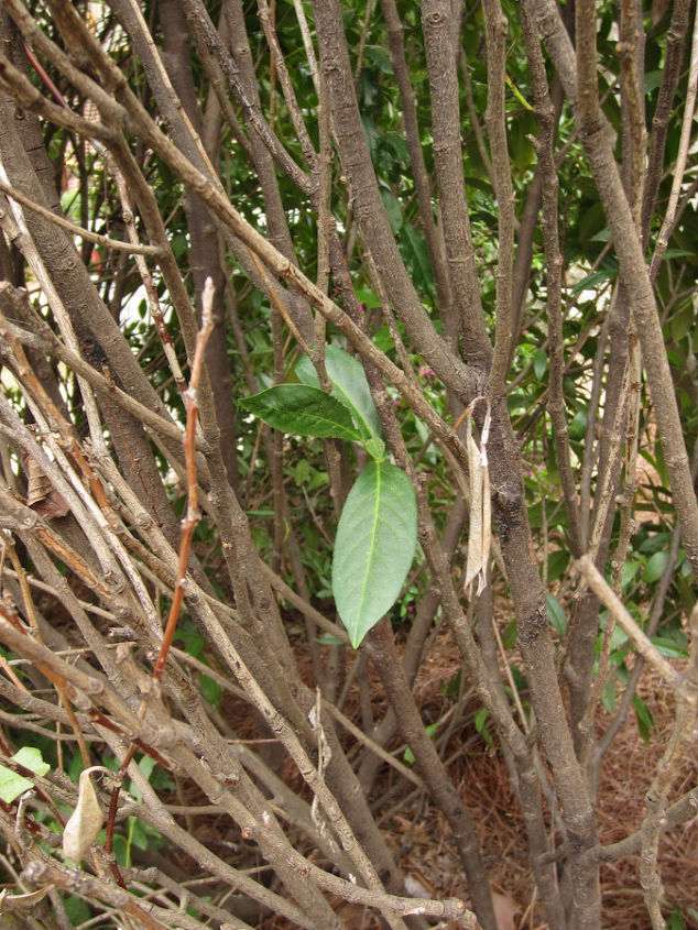 Looking into the hedge, there is a small amount of new growth appearing, but only low in the shrub.