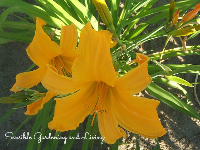 Daylily 'Jersey Spider' will bloom here right into September.