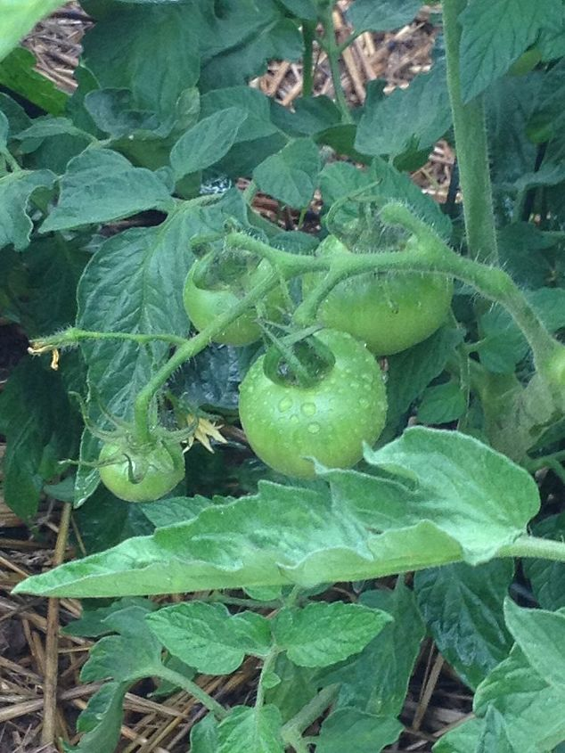 this week in my vegetable garden, gardening