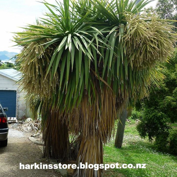 Cabbage tree in bloom