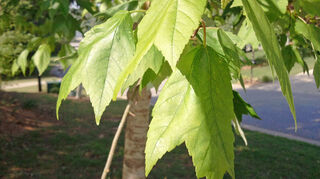 have a maple tree our builder planted 12 years ago which is leaning any, landscape, Leaves appearing lighter than they really are in the morning sun
