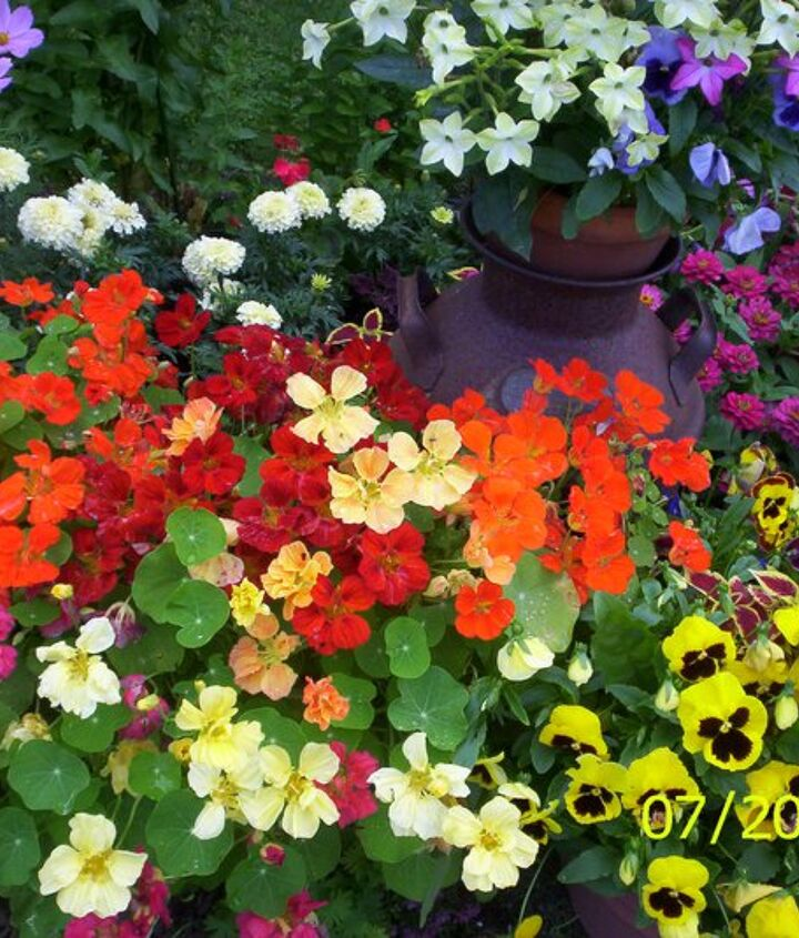 Favorite annuals:  Nasturiums.