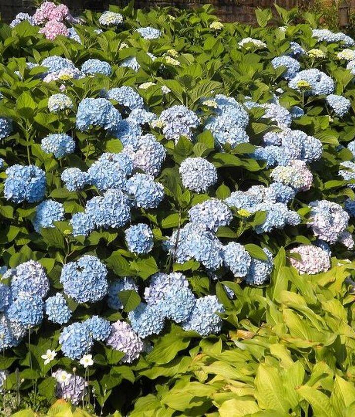 Hydrangeas at peak (June)