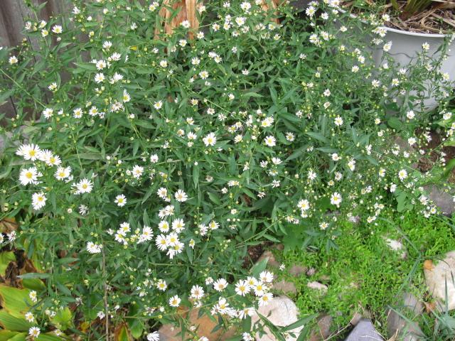 wild thing i think i love you, flowers, gardening