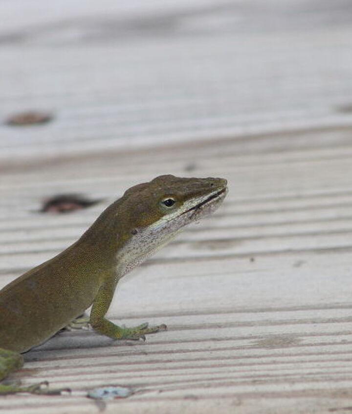bug patrol lizards in my garden, gardening, pest control