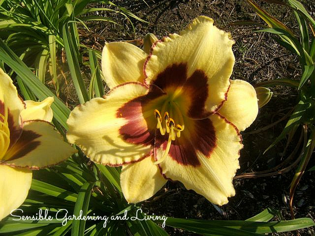 Daylily 'El Desperado' with it's stunning purple eye.