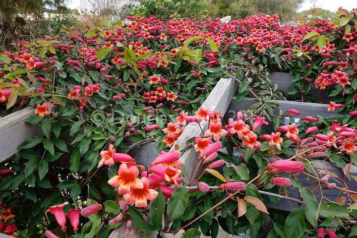 why crossvine is a great pergola plant, flowers, gardening, Looking down on the pergola Hello hummingbirds this is what heaven looks like
