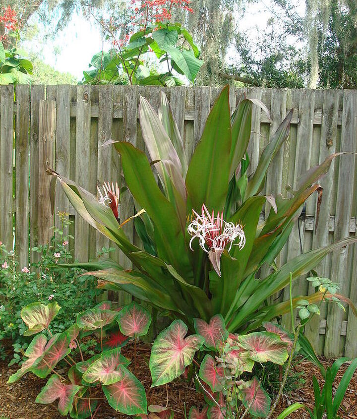 Red Crinum, 6' tall w/2 blooms.