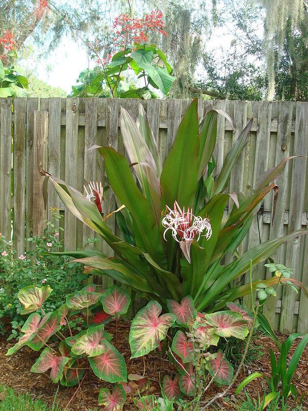 summer blooms, gardening, Red Crinum 6 tall w 2 blooms