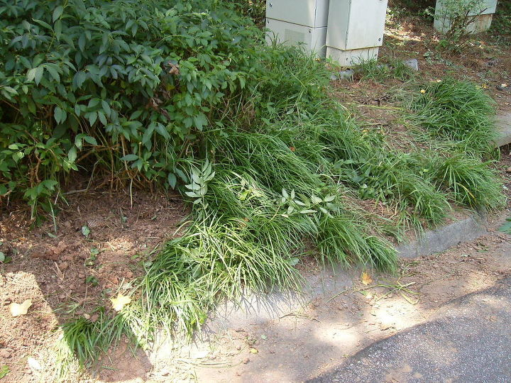 Here's another view of where I've dug up some, but it stretches several feet behind the forsythia.
