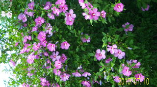 q weed or priceless plant, flowers, gardening, this is My Rose of Sharon bush