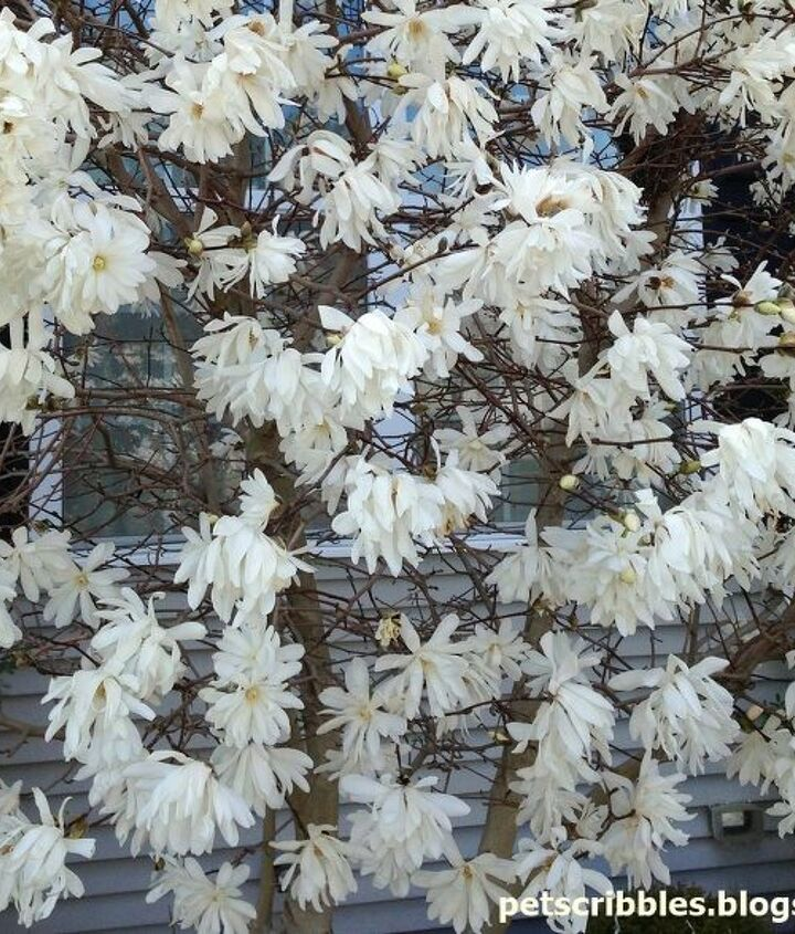 """A close-up of our Star Magnolia blooms. Love this tree, but it's only in """"full"""" bloom for about 5 days."""