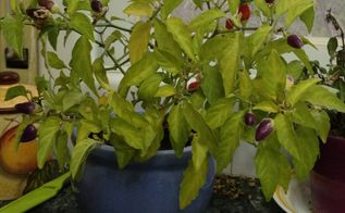 pepper plant update, gardening