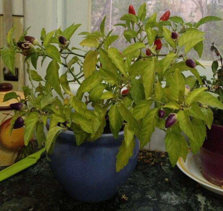 pepper plant update, gardening