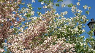 , A pink and white dogwood sharing the sky in an island in my front yard