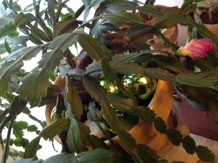a natural wonder, christmas decorations, gardening, seasonal holiday decor