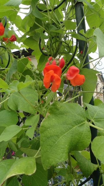 strange things happening to my runner beans, flowers, gardening