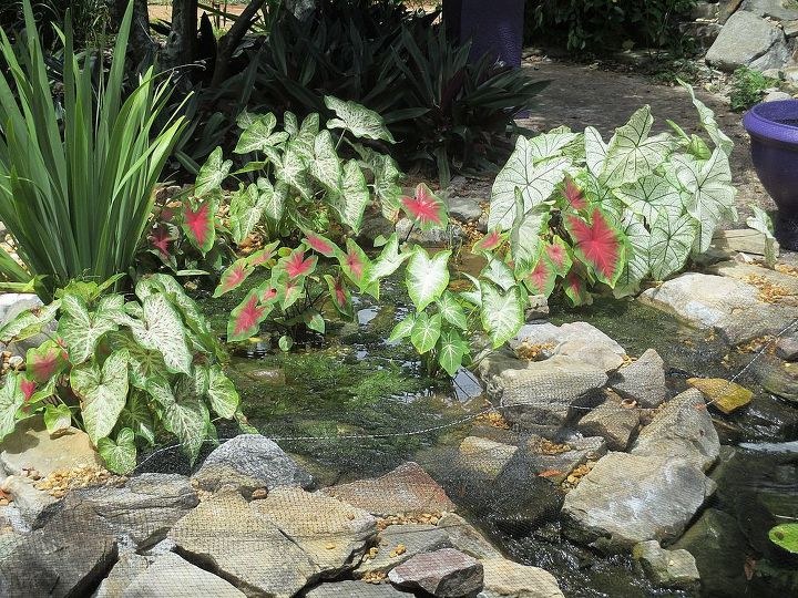 new bog, gardening, ponds water features, Bog has two small waterfalls that run into Koi pond