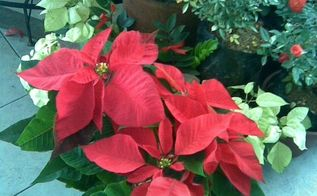 poinsettia care tips, flowers, gardening
