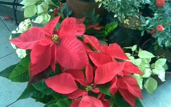 Make Your Poinsettias Bloom Year After Year