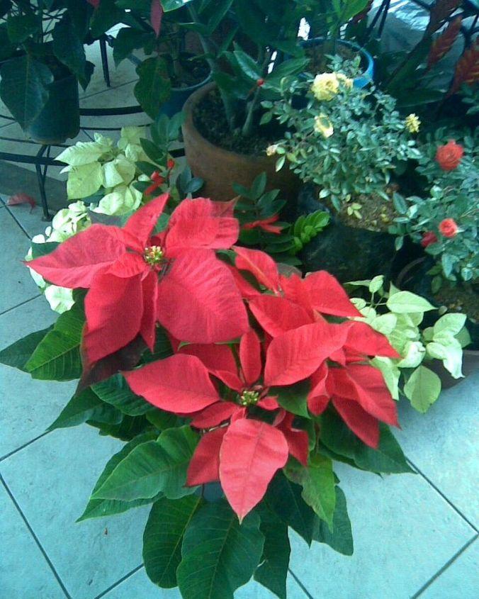 poinsettia care tips, flowers, gardening