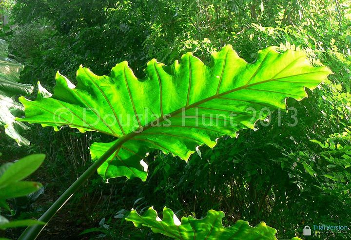 share your favorite plants for bold foliage, gardening, Now that s a leaf