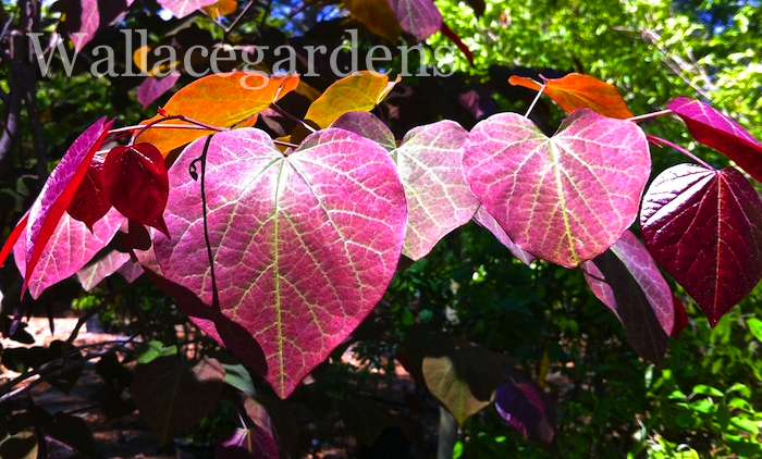 The Redbud tree 'Purple Pansy' glows in the sunlight like stained glass.
