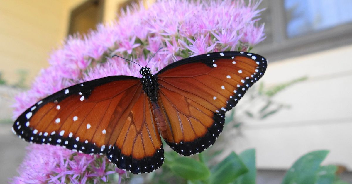 Butterflies Love Sedum Hometalk